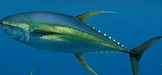 Ikan Madidihang atau tuna sirip kuning Kabar Terbaru- IKAN MANDIDIHANG