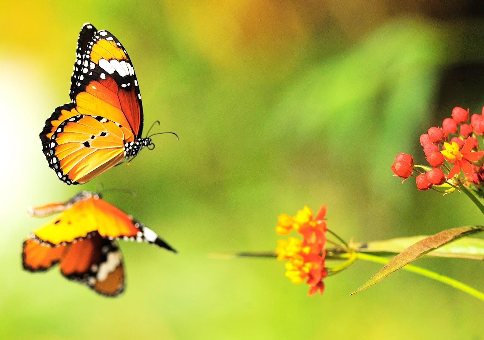 Hình nền đôi bướm và cánh hoa