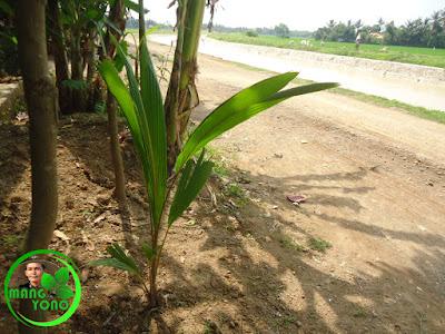 FOTO : Tanaman kelapa saya