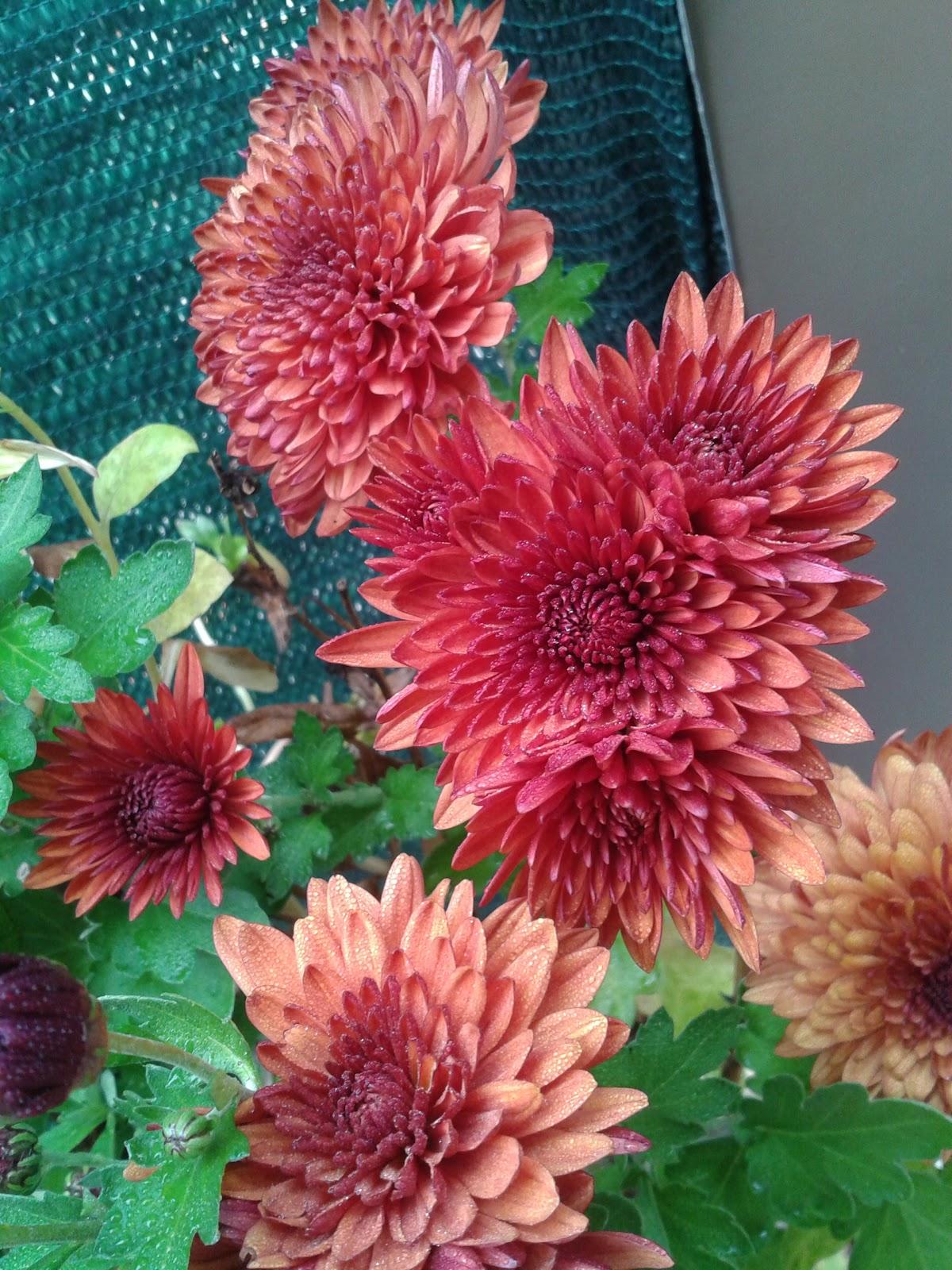 mil flores crisantemo la flor de la vida. Black Bedroom Furniture Sets. Home Design Ideas