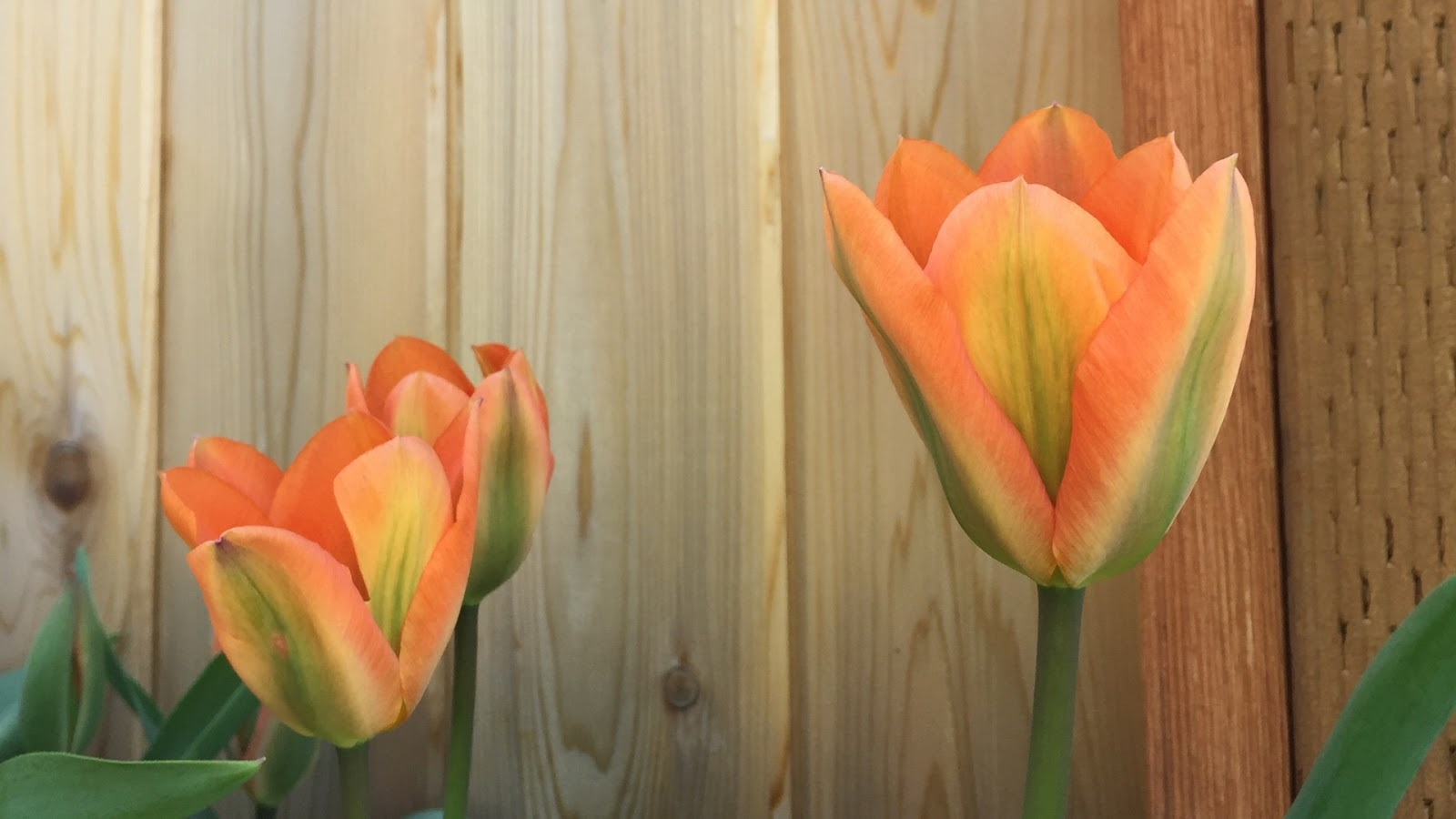 Tulips // April Desktop Wallpaper Download // www.thejoyblog.net