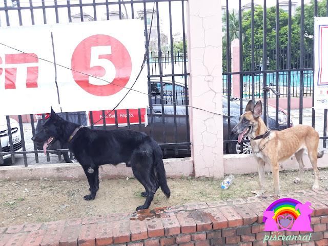 Margo, the black German Shepherd and Mela, the Belgian Malinois.