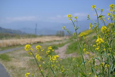菜の花 micro-nikkor 55mm f3.5