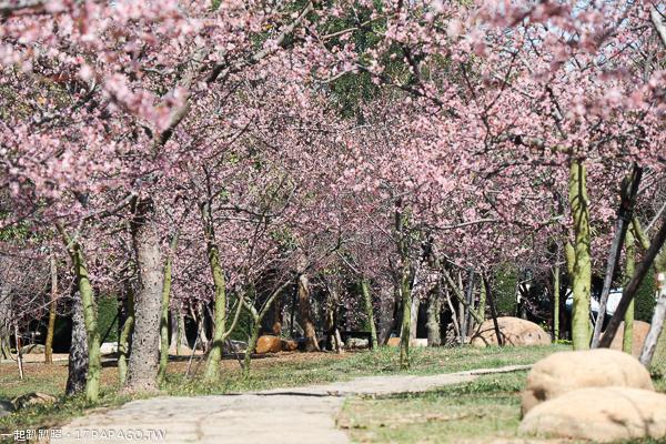 台中后里|2019崴立櫻花公園|河津櫻花開|多條賞櫻步道散步拍美照
