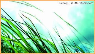 Gambar tumbuhan lalang