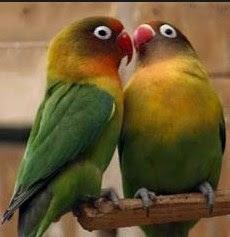 3 Proses Settingan Lovebird Dewasa Untulan/Koloni Terlengkap Yang Sudah Terbukti