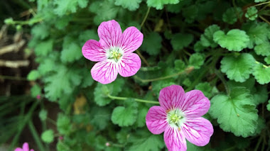 Erodium × variabile 'Roseum'