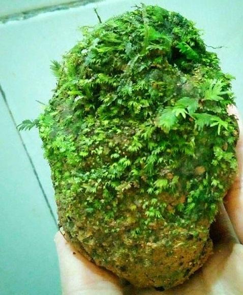 Rêu thủy sinh Phụng Vĩ Đài bám lá tự nhiên
