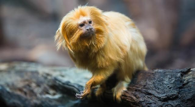 10 Jenis Primata Paling Populer