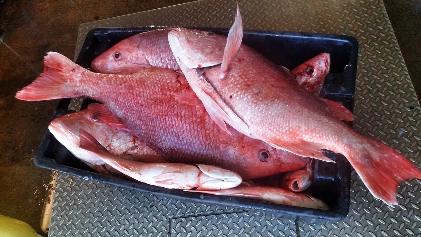 Red snapper length weight chart frozen red snapper red snapper total length is the legal length and it is the maximum length of the fish both of the fork and total length are often being used in conversion tables or nvjuhfo Images