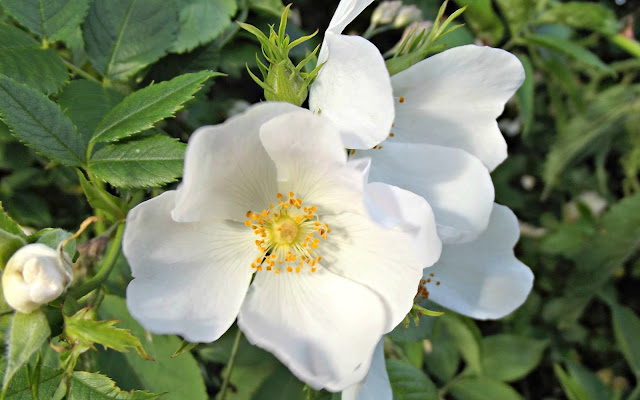 White dog rose, in situ.
