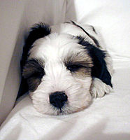 Tibetan Terrier Dog puppy