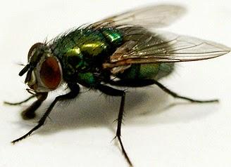 Mengendalikan Lalat