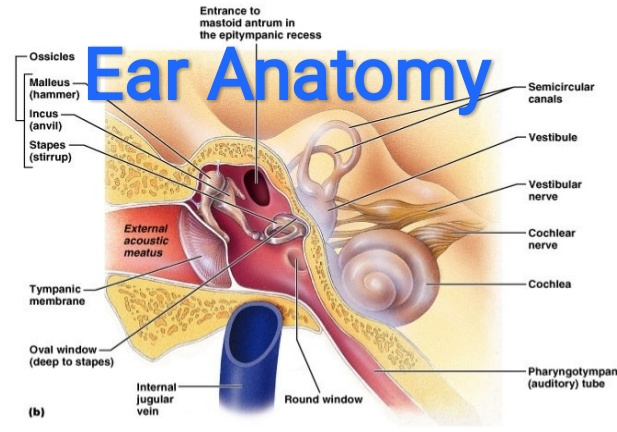 Parts Of The Ear >> Healthcare Health Solution External Ear Anatomy And Function