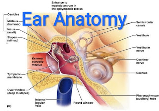 external ear anatomy pinna,  parts of the outer ear,  middle ear anatomy,  ear anatomy and function