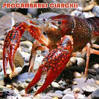 Lobster Procambarus Clackii