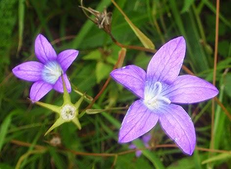 Campanilla silvestre (Campanula patula) flor silvestre azul