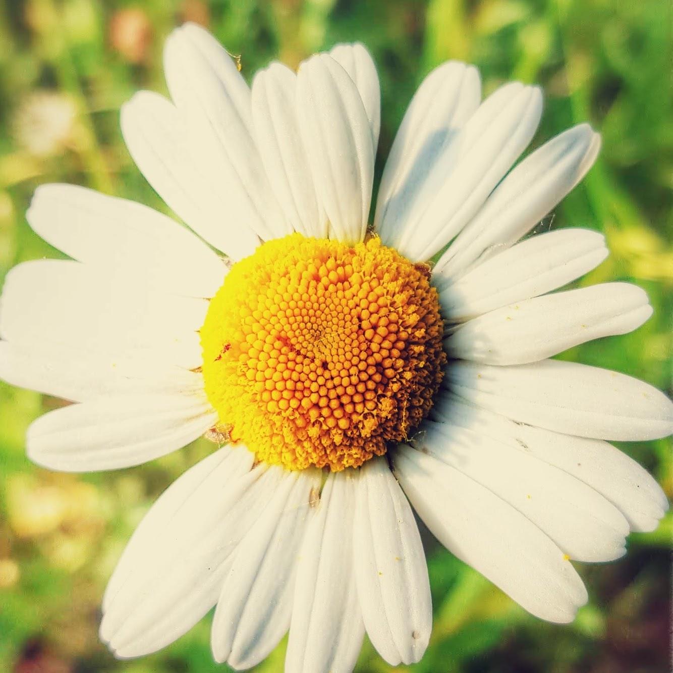Monday Mellow Yellow : Daisy..