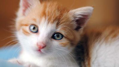 brown-color-cat-cuty-pics