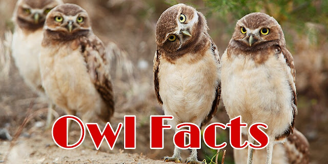 20 Owl Interesting Facts And Owl In Hindi