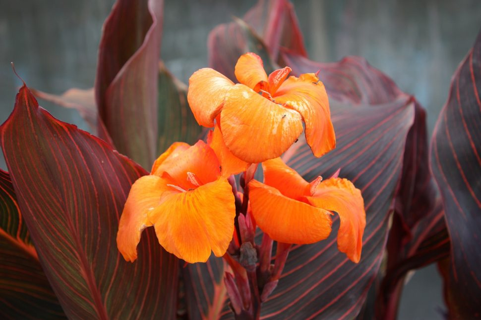 canna flower wallpaper