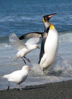 Pingüino rey Aptenodytes patagonica