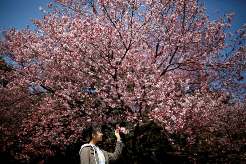 Trees in Tokyo will be in full bloom in about a week's time, turning parks into huge picnic areas where friends, family and colleagues gather for sometimes raucous, alcohol-fuelled celebrations that can last for hours.