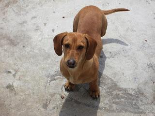 Teckel, Dachshund o perro Salchicha