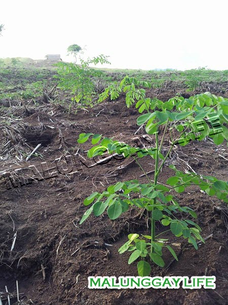 moringa-plant-for-transplanting