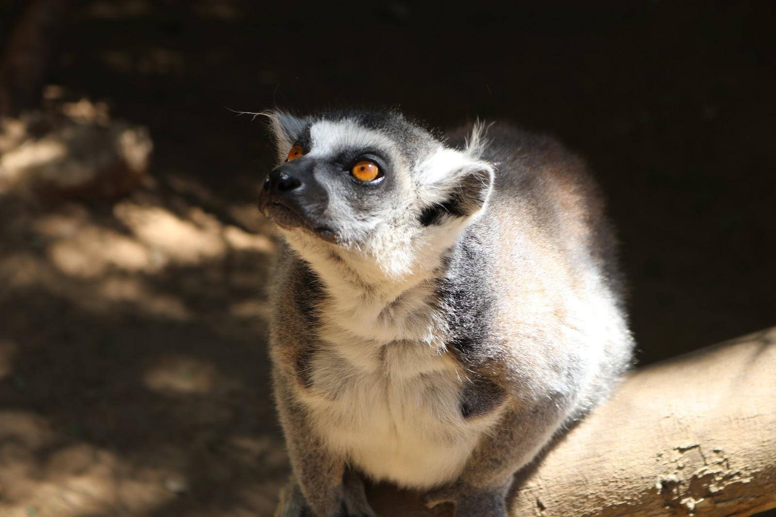 Lemur in Zoo de Castellar, Spain
