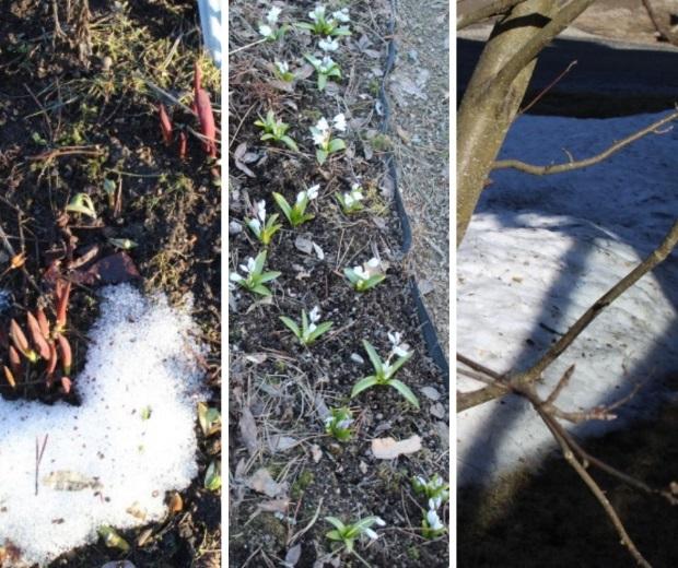 Tulppaanit ja kevättähdet nousevat maasta ja silmut puhkeavat pensaisiin.