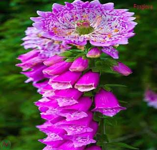 foxglove flower, foxglove
