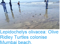 https://sciencythoughts.blogspot.com/2018/03/lepidochelys-olivacea-olive-ridley.html