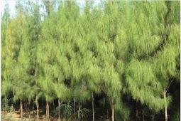 Wind fir