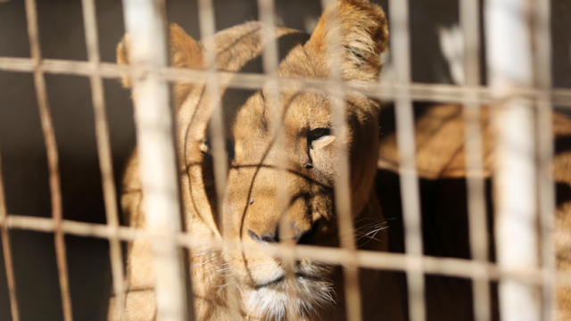 Gaza Zoo Rips Out Lion Cub's Claws So It Can Be 'Friendly With Visitors'