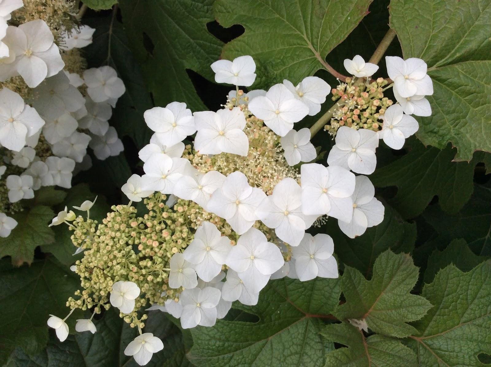 Wonderlijk Een hortensia die droge zomers wél verdraagt! NP-15