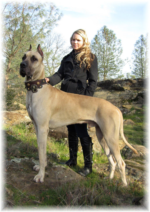 S S Blue Haven Great Danes Great Dane  Pharaoh