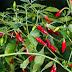 Planta care calmeaza durerea, stopeaza atacul de cord si sangerarile, fie ele interne sau externe