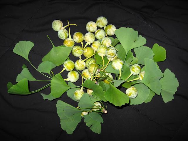 unripe ginkgo seeds