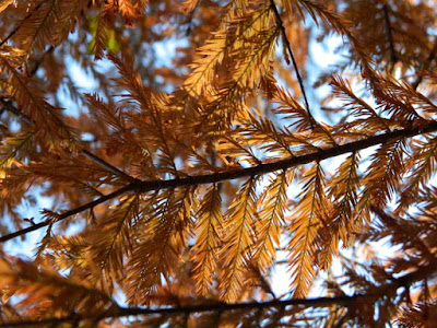 Bald cypress Taxodium distichum Peve Yellow autumn foliage Toronto Botanical Garden by garden muses-not another Toronto gardening blog