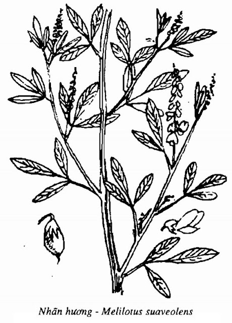 Hình vẽ Nhãn Hương - Melilotus suaveolens - Nguyên liệu làm thuốc Chữa bệnh Mắt Tai Răng Họng