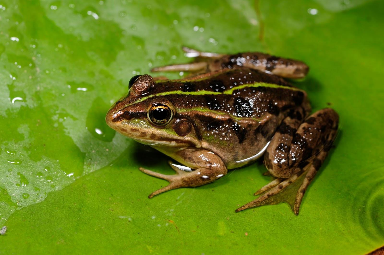 Amphibians: BennyTrapp Pelophylax shquipericus Montenegro