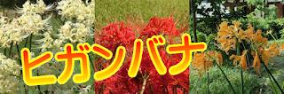 鎌倉のヒガンバナ