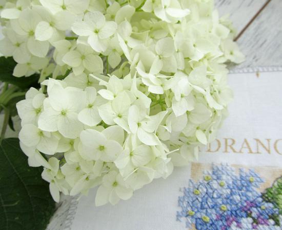 hydrangea, гортензия