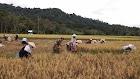 Desa Semabi Berpotensi Sebagai Lumbung Beras di Kabupaten Sekadau
