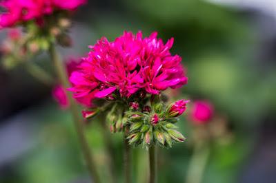 """mit Strich und Faden: Pelargonium """"Scarlet"""""""