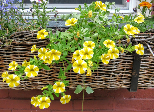 Yellow flowers in a window box in Pittsburgh
