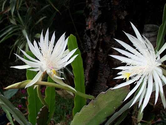 THE MOST BEAUTIFUL FLOWER EVENT IN THE WORLD - THE CEREUS
