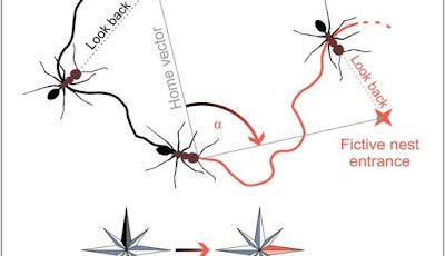 Semut Gurun Gunakan Medan Magnet Bumi Agar Tak Tersesat