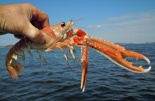 "Mmmediterranean Seafood – ""Day Boat"" Langoustine / Norway lobster ..."